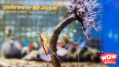 Cover art for Underwater Nit-Pickin': Cleaner Shrimp And Why Big Fish Won't Eat Them
